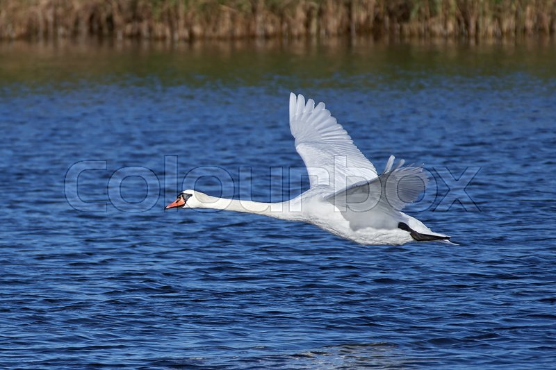 Stock image of 'Mute swan in flight with blue water in the background'