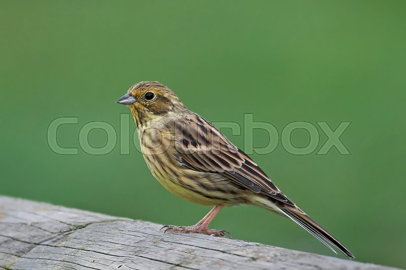 Stock image of 'Yellowhammer resting with vegetation in the background'