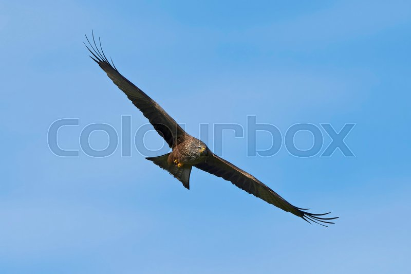 Stock image of 'Black kite in flight with blue skies in the background'
