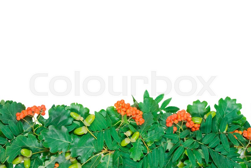 Stock image of 'green border of oak leaves and acorns and berries of mountain ash'