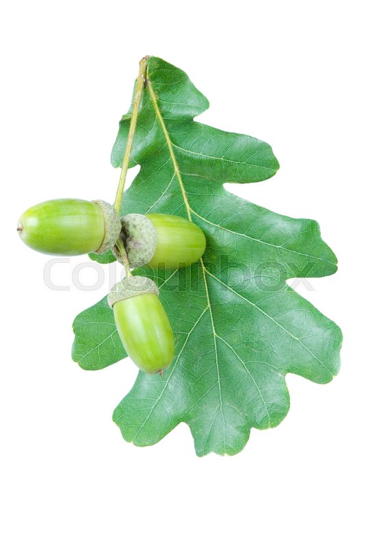 Stock image of 'green oak leaf and acorn three on a white background'
