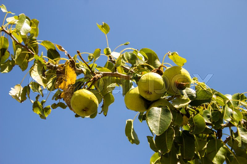 Stock image of 'The pears on the tree as a symbol of the country life'
