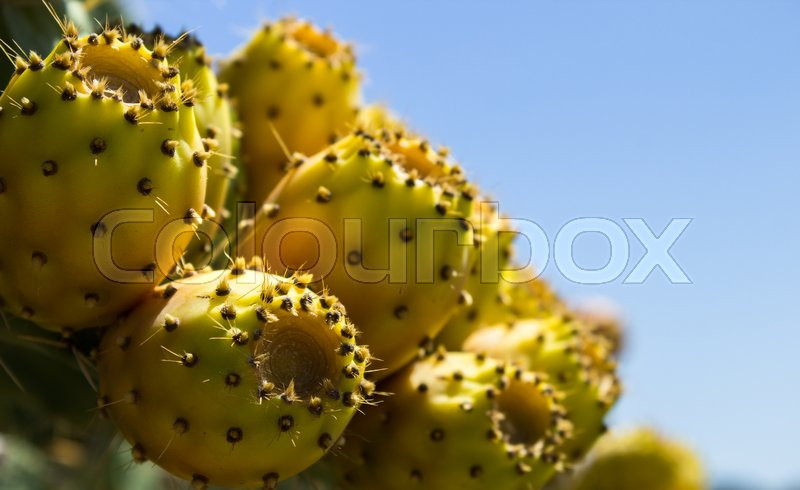 Stock image of 'fig tree with thorns and sweet fruit that grows in hot countries'