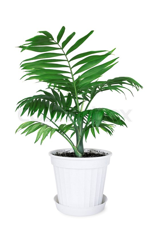 Stock image of 'House plant Chamaedorea in a flower pot on a white background'