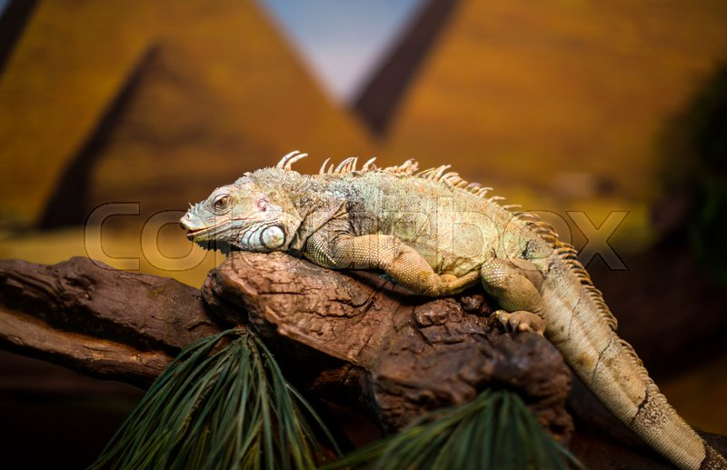 Stock image of 'Live wild reptiles lizards shot close-up in nature'