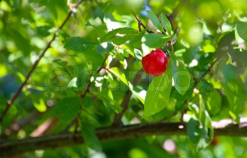 Stock image of 'Red plum in  late summer'