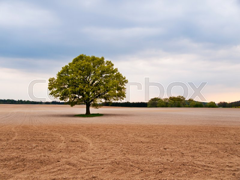 Stock image of 'Alone big oak tree in the middle of field on spring time'