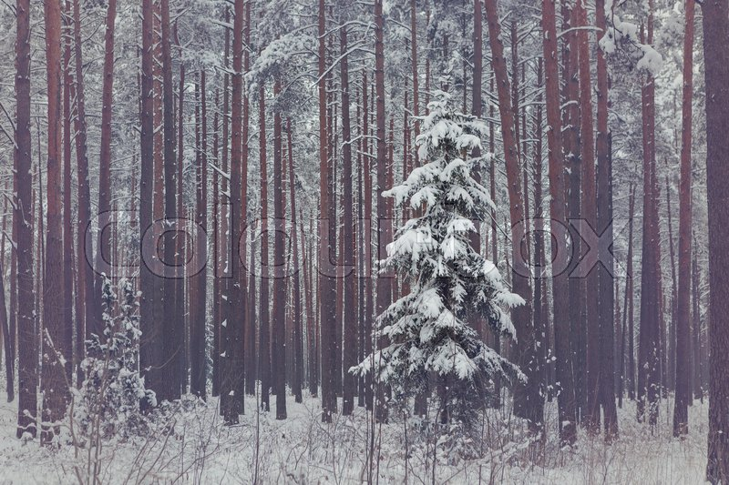 Stock image of 'Lonely spruce in snowy coniferous forest. Winter season. Outdoor shot.'