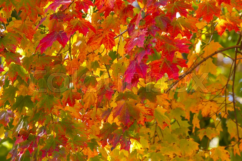 Stock image of 'Close up of fall leaves on the tree's'