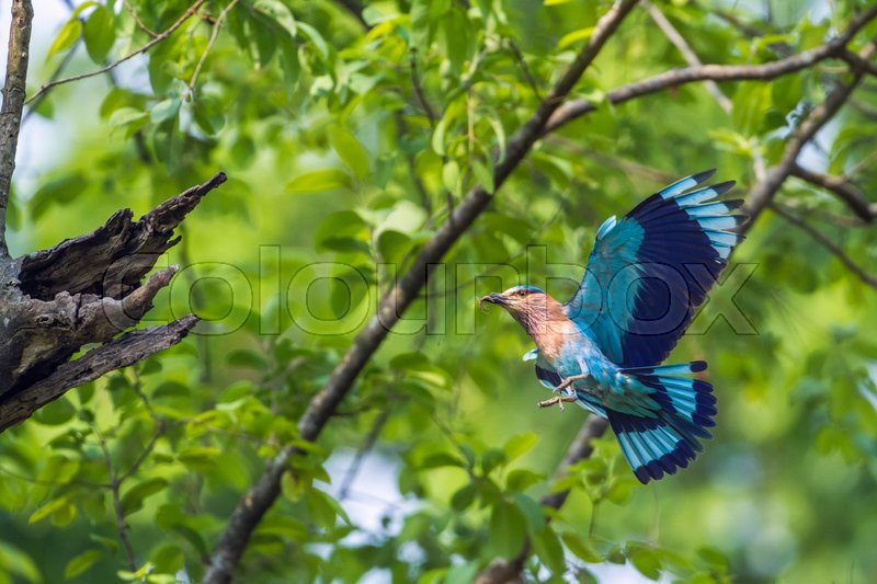 Stock image of 'specie Coracias benghalensis family of Coraciidae '