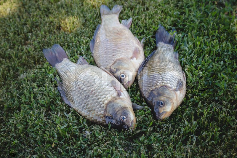 Stock image of 'Crucian carp fish swimming in the pond'