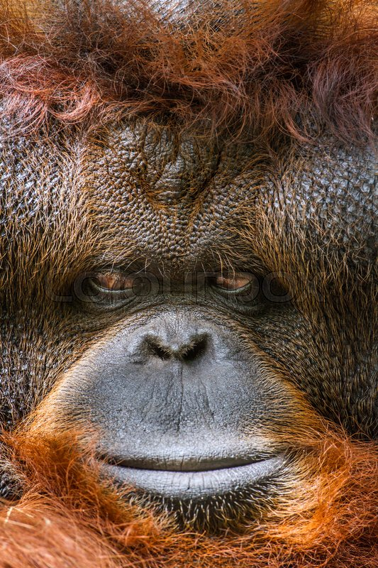 Stock image of 'Orangutan portrait in Chiang Mai zoo, Thailand'