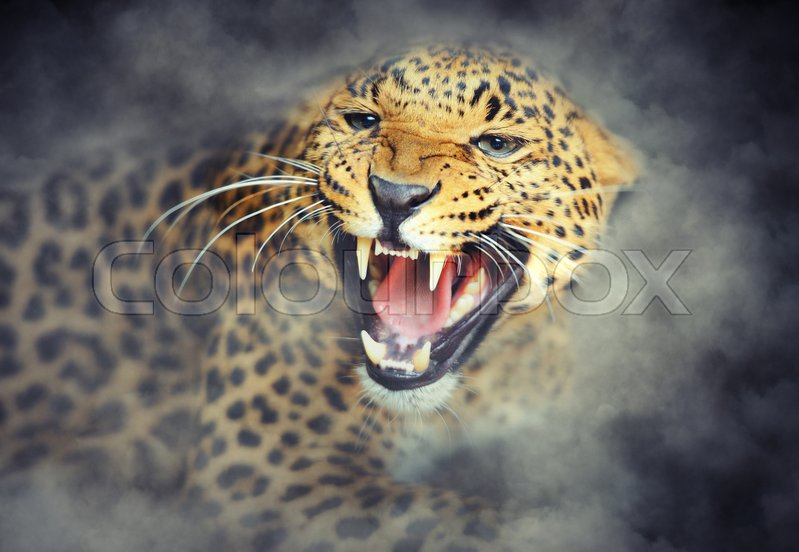 Stock image of 'Close-up angry leoprad portrait in smoke on dark background'