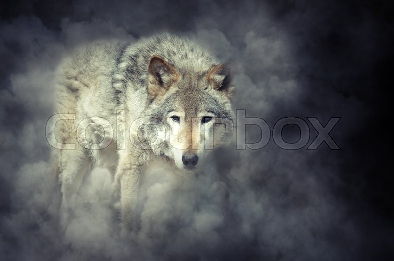 Stock image of 'Wild grey wolf in smoke on dark background'