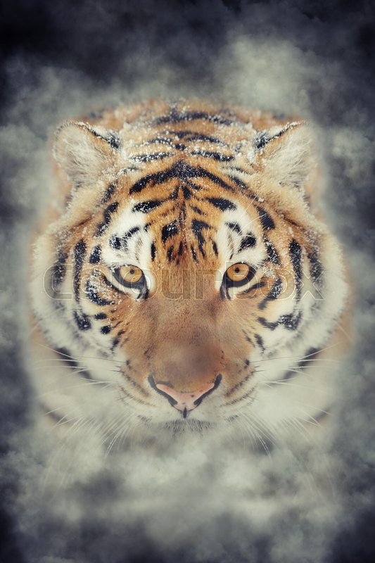 Stock image of 'Close up tiger in smoke on dark background'