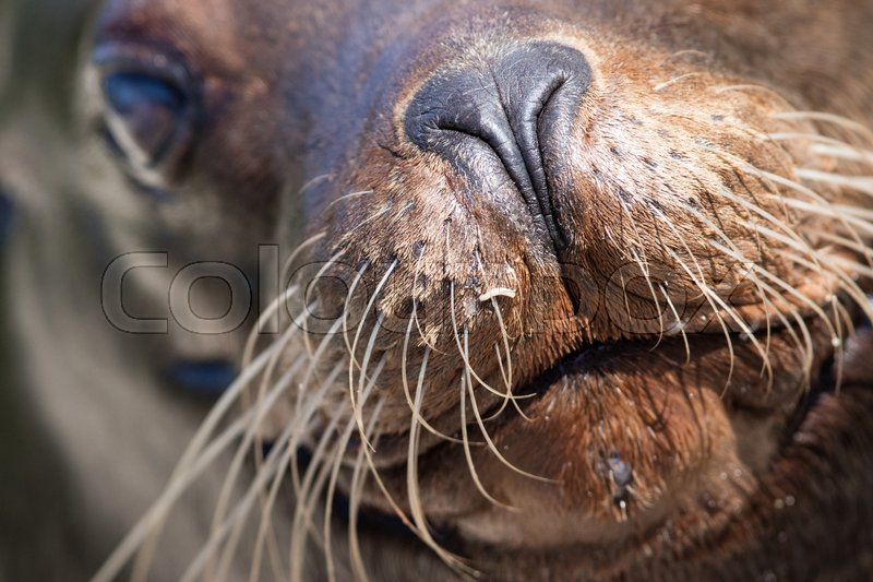 Stock image of 'Sea lion closeup - Selective focus on the eye'
