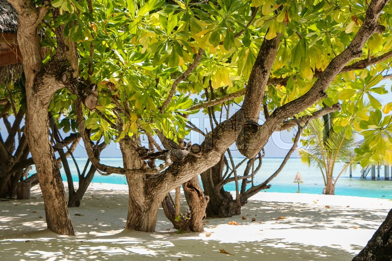 Stock image of 'a green tree and palm on white sand beach. Maldives island.'