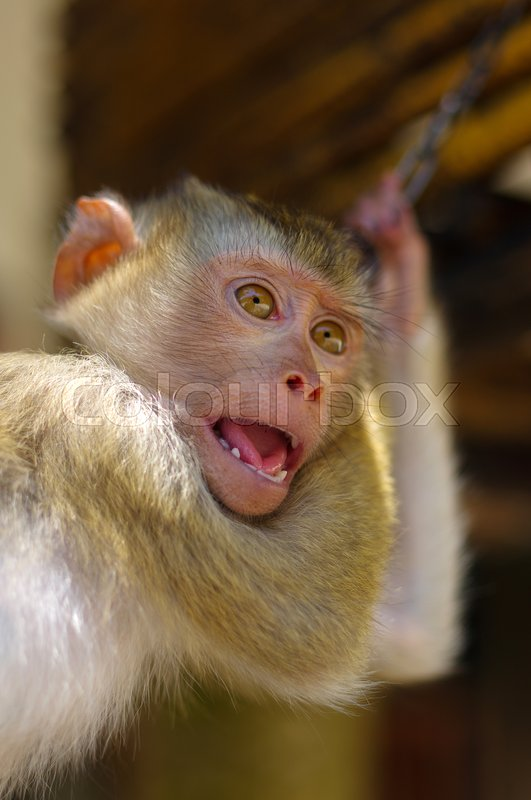 Stock image of 'Young brown macaca monkey in chains in Thailand'