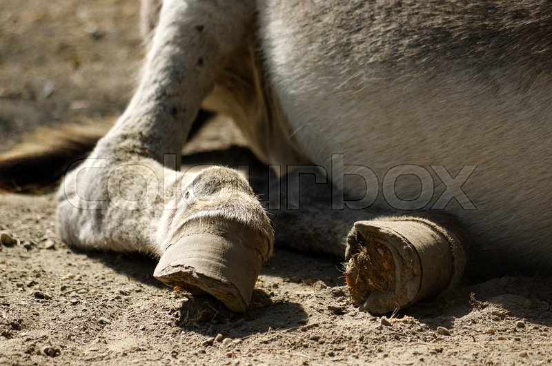 Stock image of 'Part of a lazy grey Donkey lying on the ground'