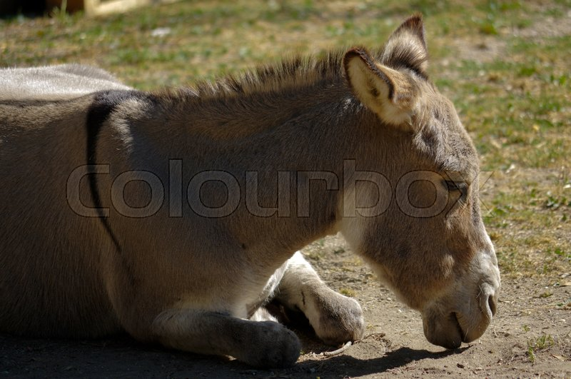 Stock image of 'Lazy grey Donkey lying on the ground'