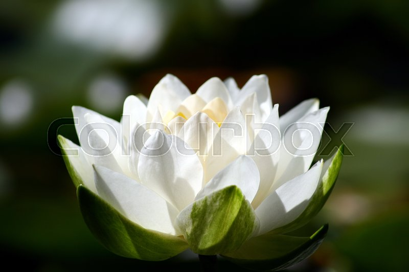 Stock image of 'A Water Lily open in the mid day sun.'