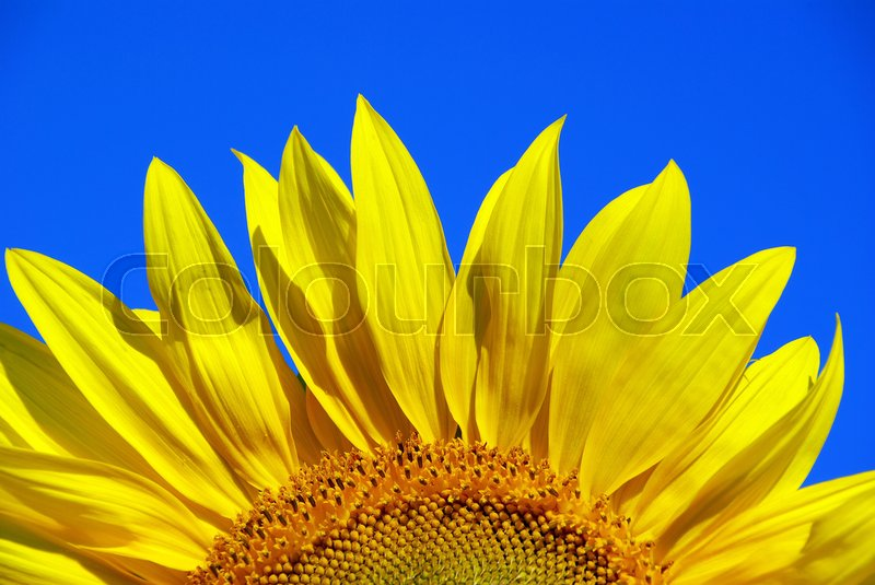 Stock image of 'sunflower over cloudy blue sky'
