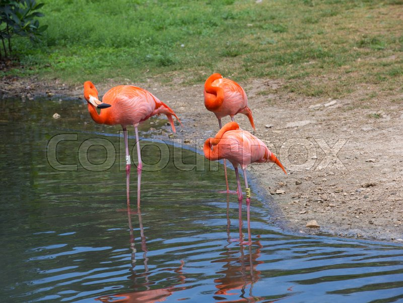 Stock image of 'Flamingos against green background'
