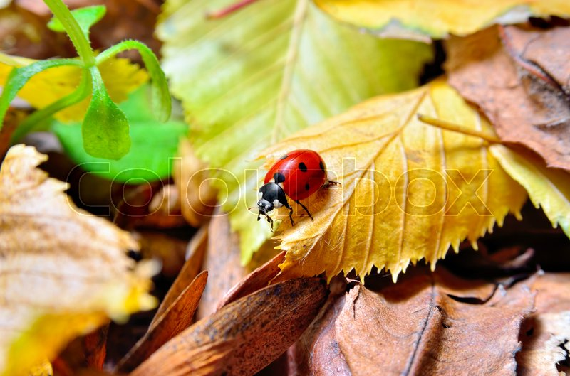 Stock image of 'Ladybug on the fallen yellow leaves in the fall. Insects in the wild nature.'