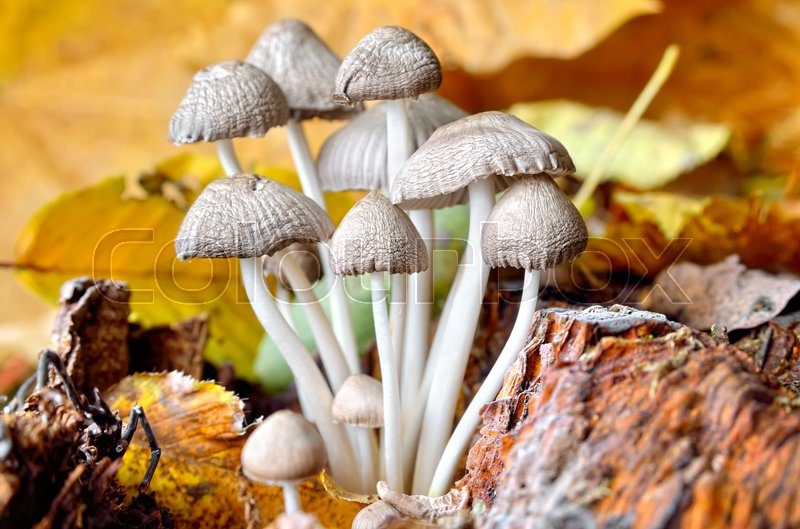 Stock image of 'Family inedible mushrooms growing in the forest. Poisonous mushrooms in the wild nature'