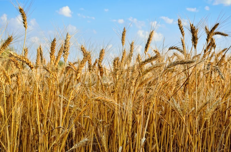 Stock image of 'Young ears of grain on the background of blue sky'