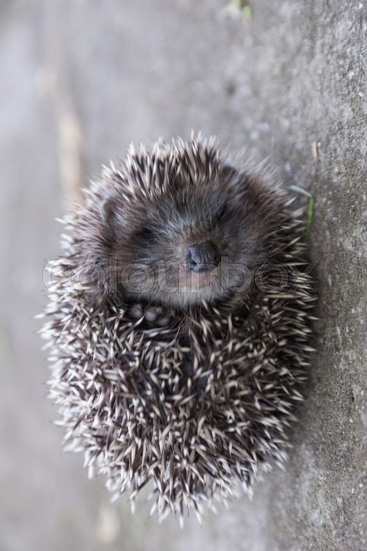 Stock image of 'Young hedgehog curled up into a ball'