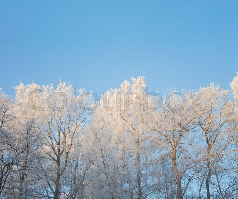 Stock image of 'Winter trees with hoarfrost and blue sky. '