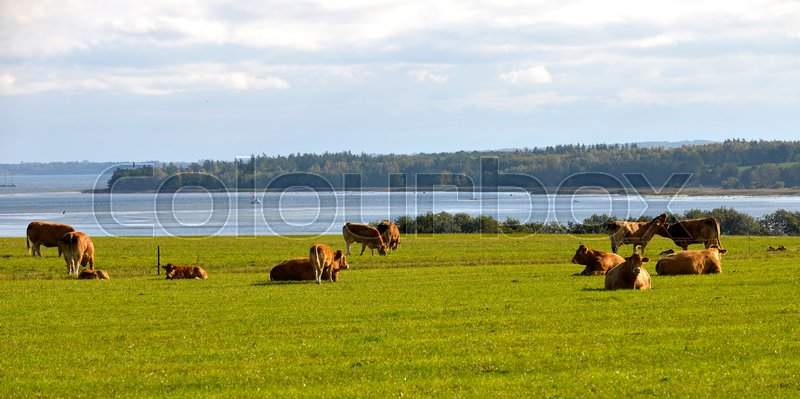 Stock image of 'organic, cattle, limousine'