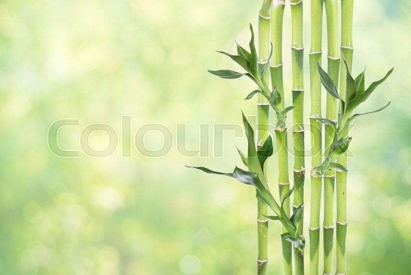 Stock image of 'Several stem of Lucky Bamboo (Dracaena Sanderiana) with green leaves, on natural green background, with copy-space'