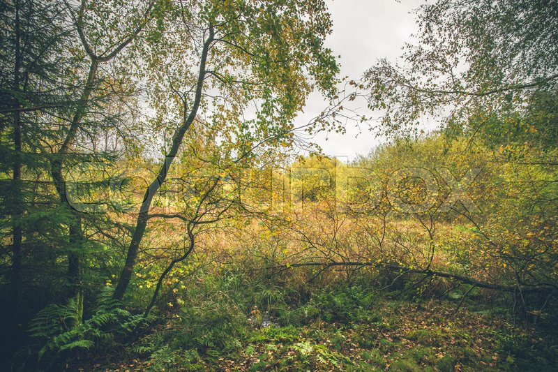 Stock image of 'Birch trees in colorful wilderness in the fall'