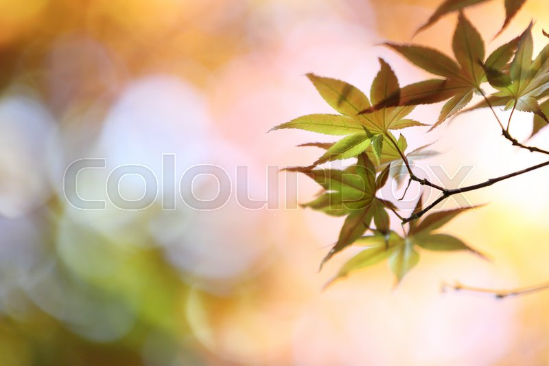 Stock image of 'Maples leafs background'