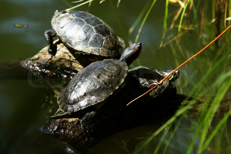 red eared slider   semiaquatic turtle  resting on the sun
