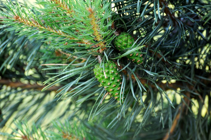 Pitch Pine trees with fresh pine cones and green pine needles, stock photo