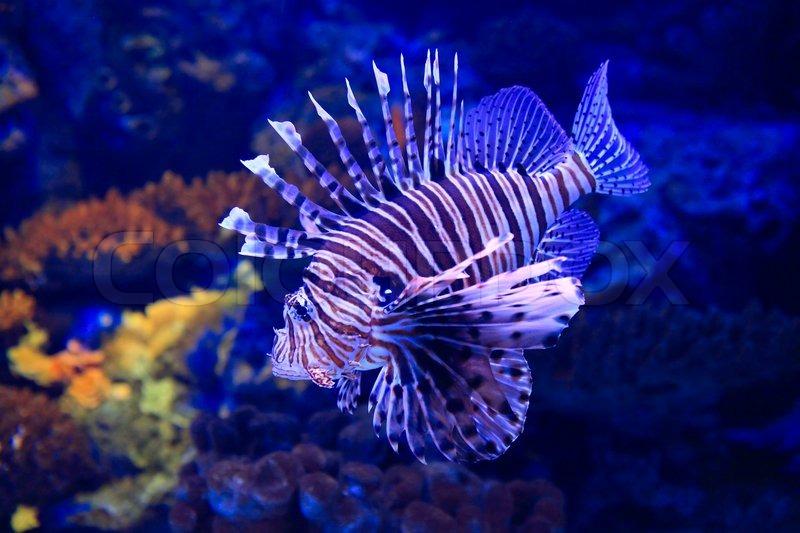 Lion Fish Underwater In Tropical Aquarium