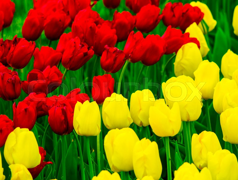 Flowers Tulips. yellow and red tulips, stock photo