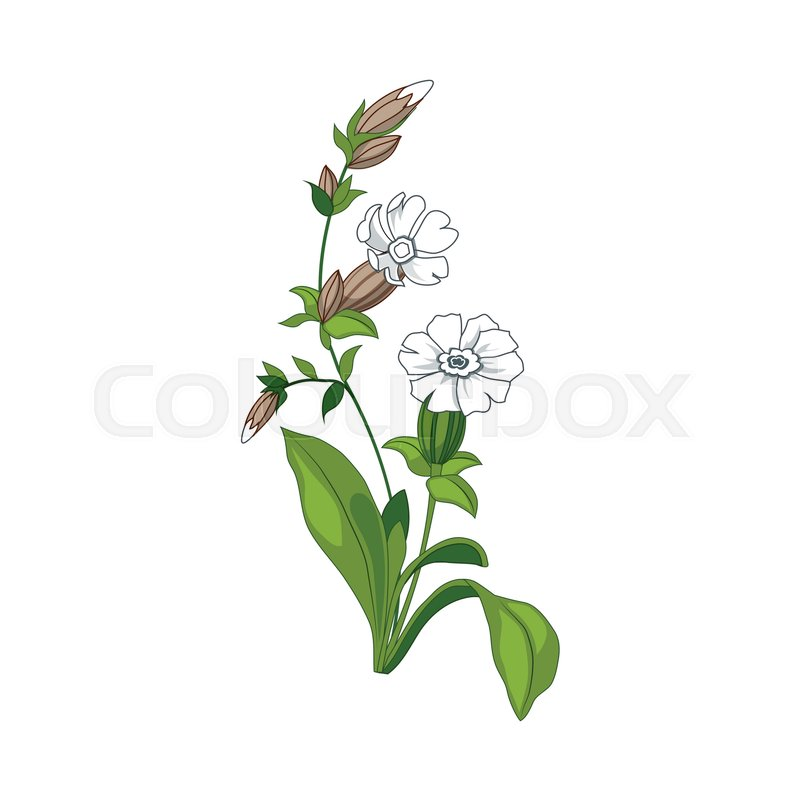 White Marigold Wild Flower Hand Drawn Detailed Illustration Plant