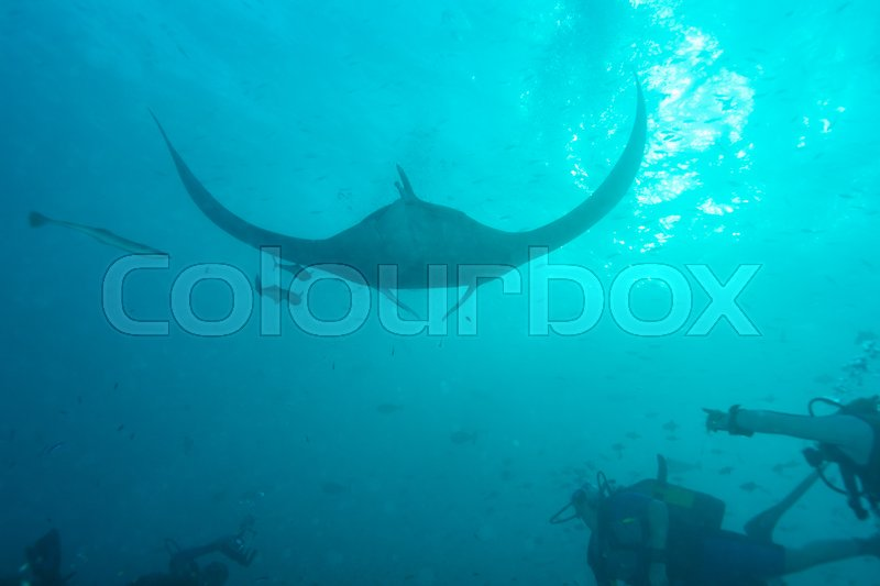 Stock image of 'Underwater divers are watching manta rays at a cleaning station, Maldives'