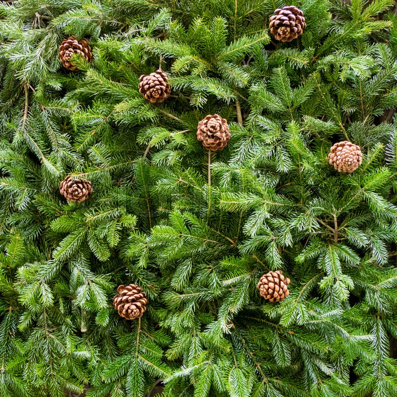 Background of Christmas tree branches, with pine cones, square format, stock photo