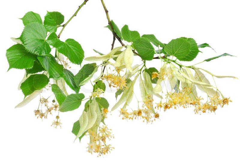 flowers of lindenbaum auf einem wei en hintergrund stockfoto colourbox. Black Bedroom Furniture Sets. Home Design Ideas