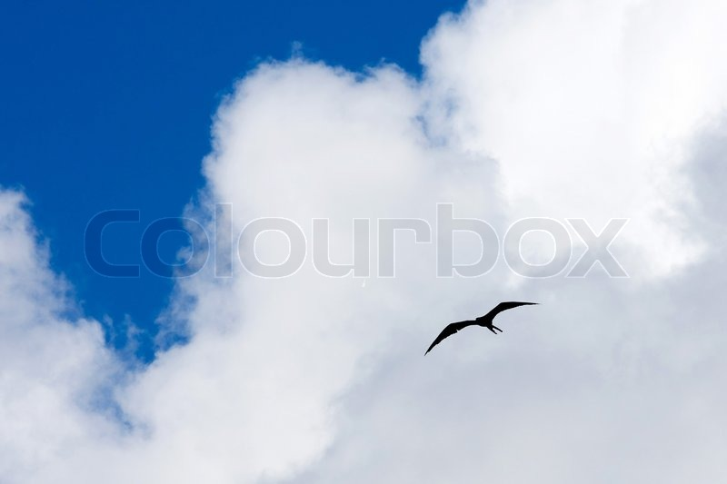 Silhouette of a Caribbean frigate bird flying through the sky high above the tropical sea, stock photo
