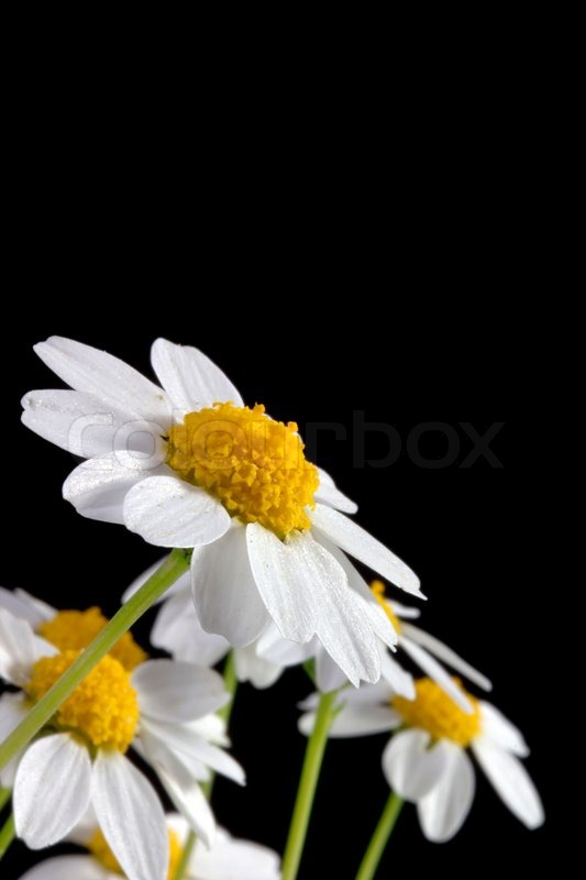 white daisy flower isolated on a black background stock photo