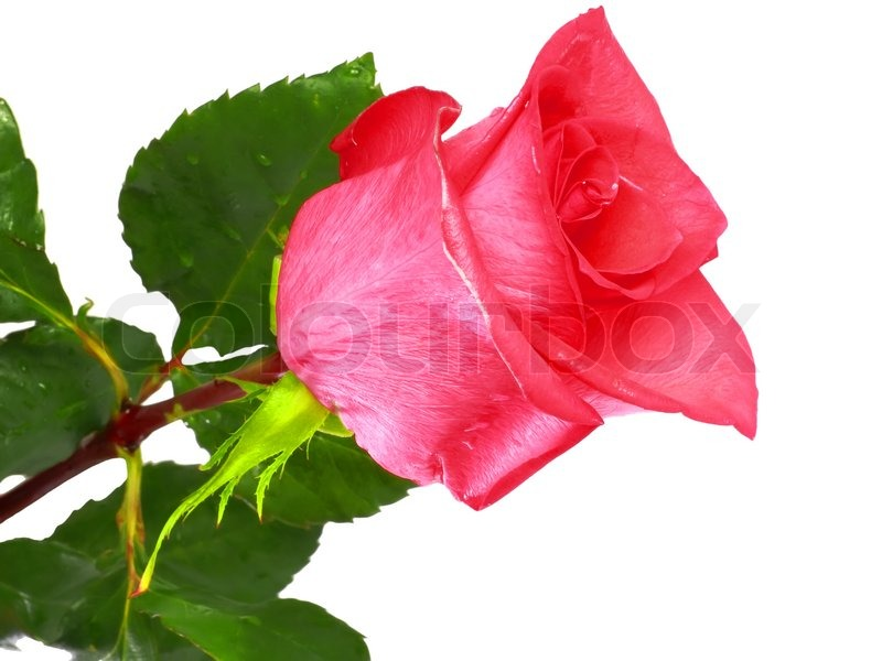 Beautiful Single Red Rose Flower Isolated Royalty Free: Beautiful Single Pink Roses Isolated On White Background