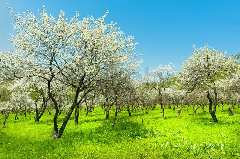 Blooming apple trees garden natural view | Stock Photo