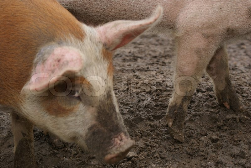 Stock image of 'Pigs in mud'