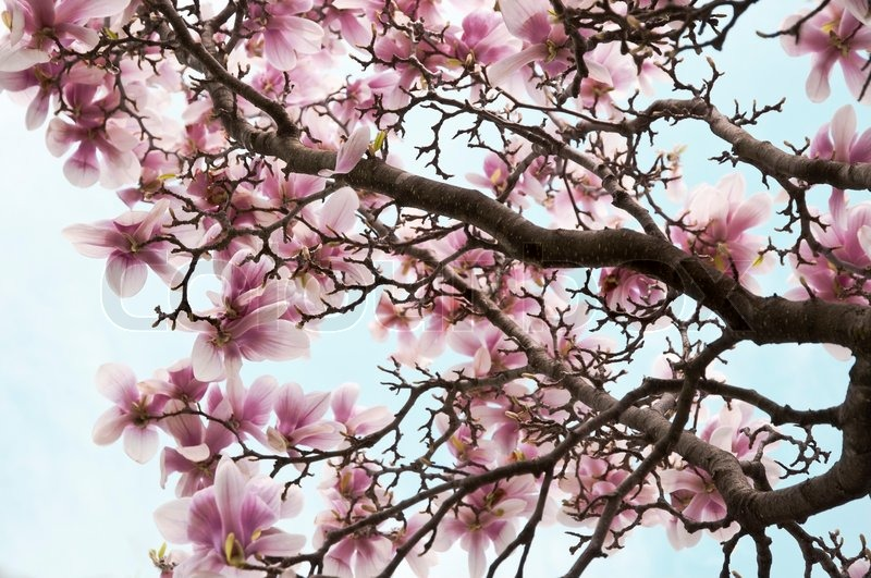 Pink And White Magnolia Flowers On A Stock Image Colourbox